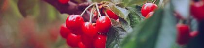 cherry banner